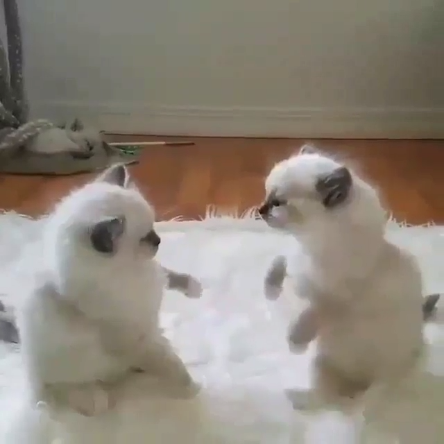 Two Cute Kittens Play Fighting and larking around! cute