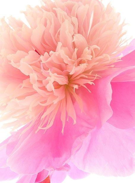 happy day out dream colours pink pinterest fleurs pivoine et belles fleurs. Black Bedroom Furniture Sets. Home Design Ideas