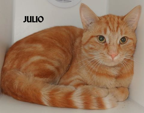 ADOPTED! Name is Julio Male, neutered 10 months old Vaccinated for rabies, FIV/FeLV negative Very sweet!   Located at 2396 W Genesee Street, Lapeer, Mi. For more information please call 810-667-0236. Adoption hrs M-F 9:30-12:00 & 12:30-4:15, Weds 9:30-12:00 & Sat 9:00-2:00  https://www.facebook.com/267166810020812/photos/pb.267166810020812.-2207520000.1443236612./898408366896650/?type=3&theater