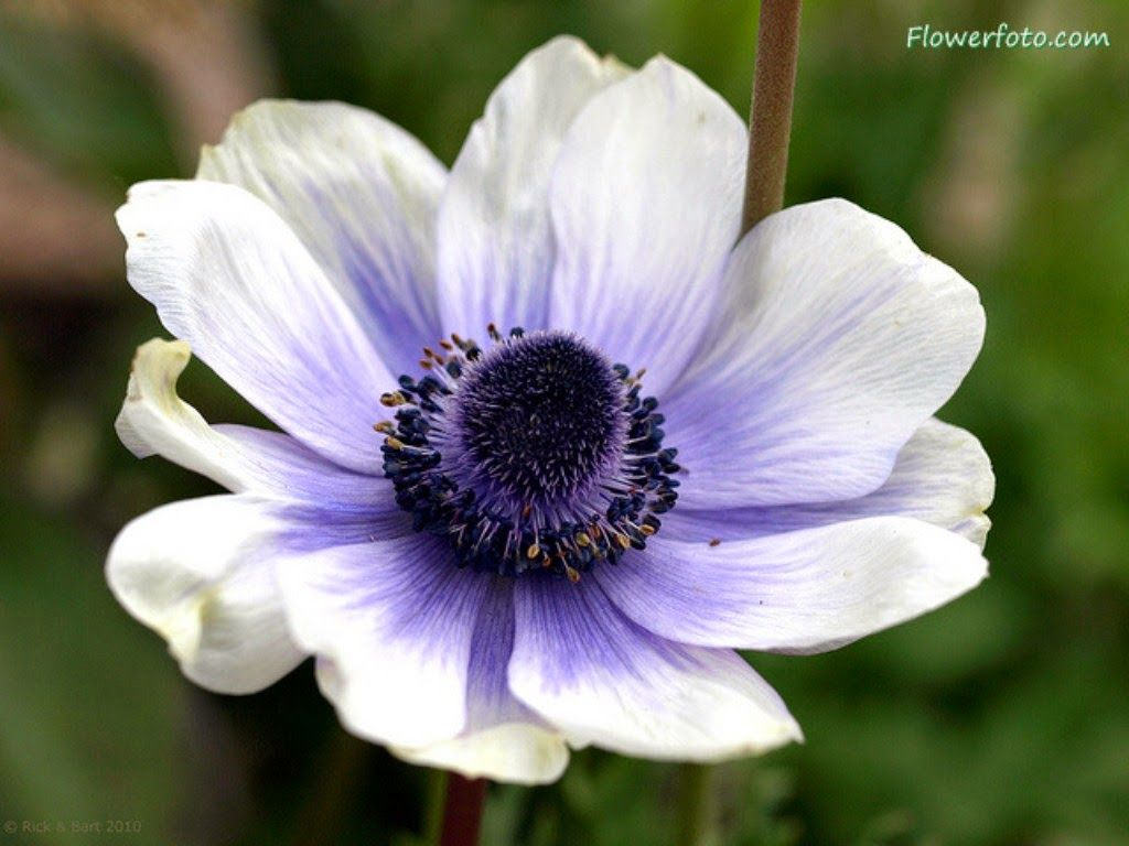 Pin by haris wkwk on flower pinterest anemone flower pictures anemone flowers for tattoo design 10 mightylinksfo Image collections