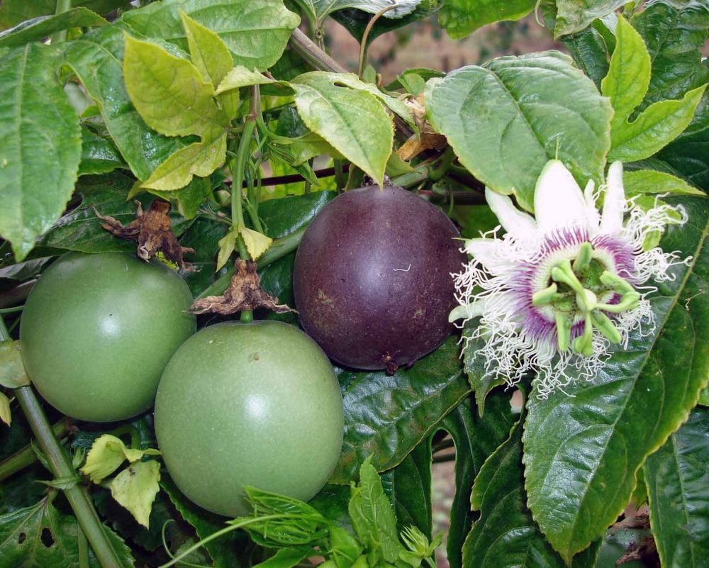 Passiflora Edulis Red Rover Plant Purple Passion Fruit Plant Edible Passion Fruit Plant Front Yard Plants Passion Fruit