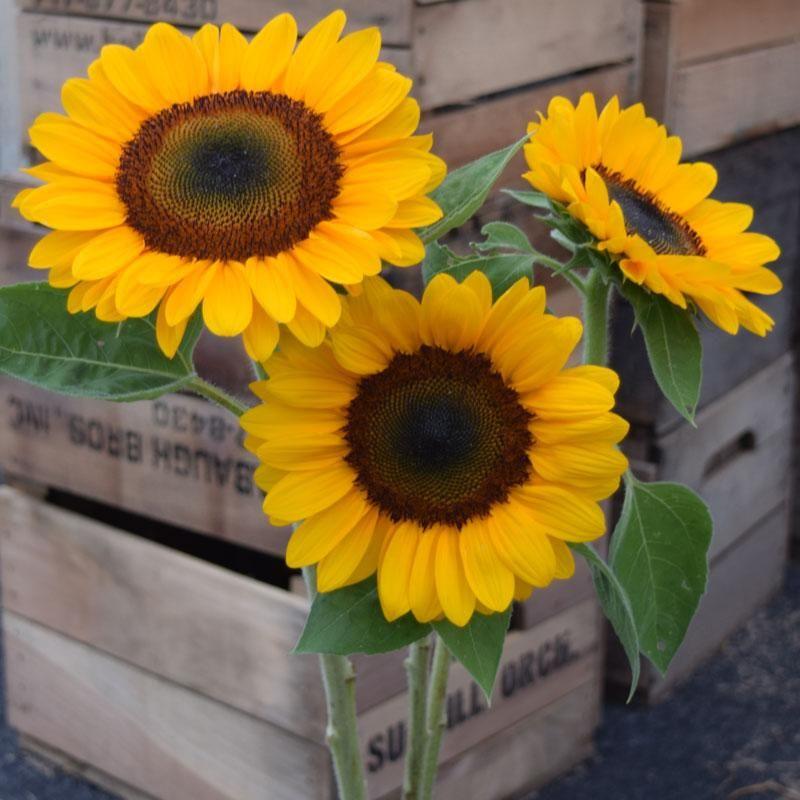Sunflower Vincent S Choice F1 Sunflower Flower Seeds Flowers