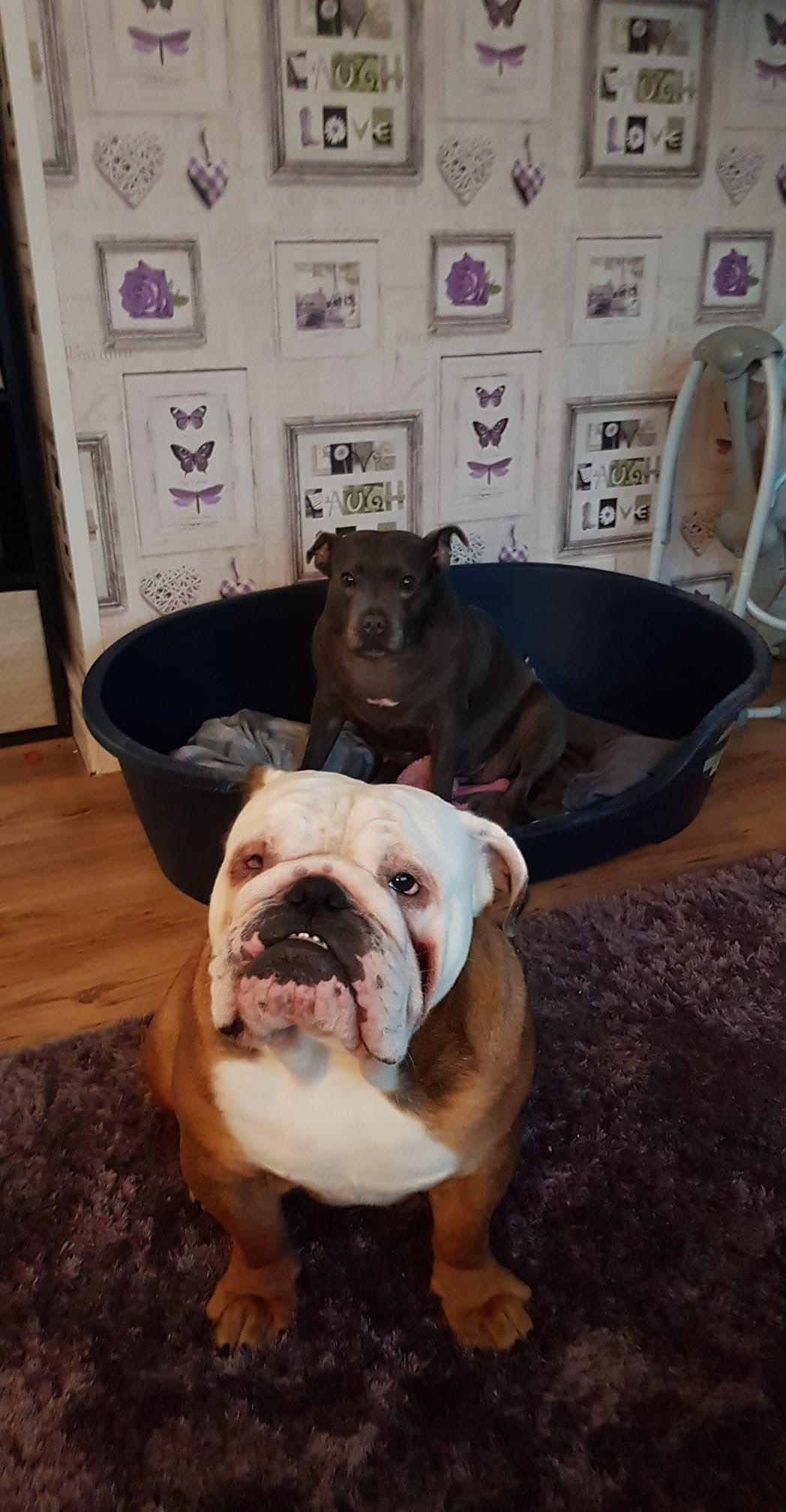 Pin By Zoran Franicevic On English Bulldogs French Bulldog Dog