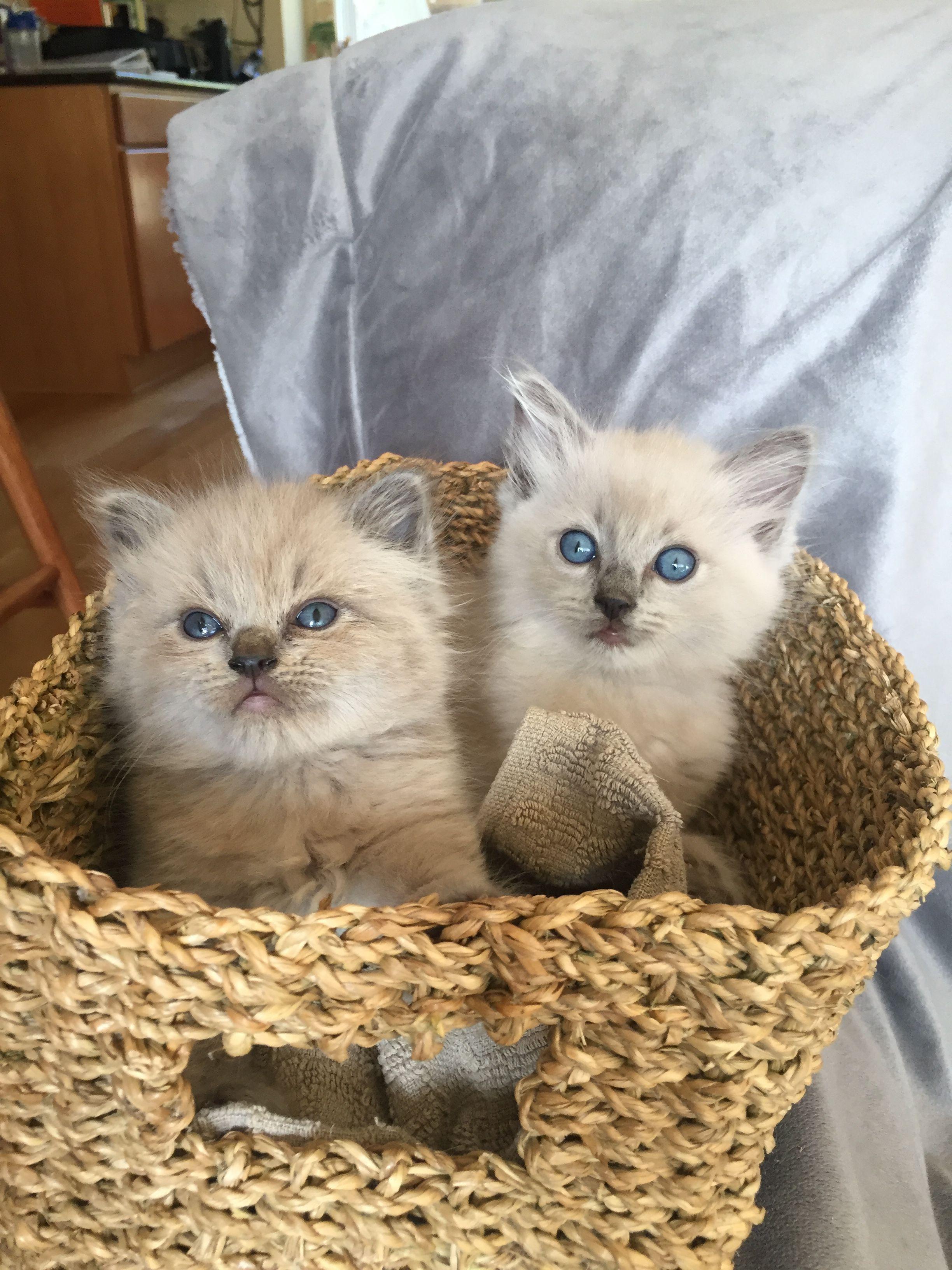 Blue Mink Ragdoll Kittens Www Righteousragdolls Com Ragamuffin Cat Cat Lady Starter Kit Cool Cats