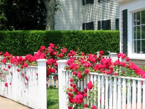 Dont Know Which I Love Most Pastel Flowers Or Beautiful Red Roses Draping  Over White Fence