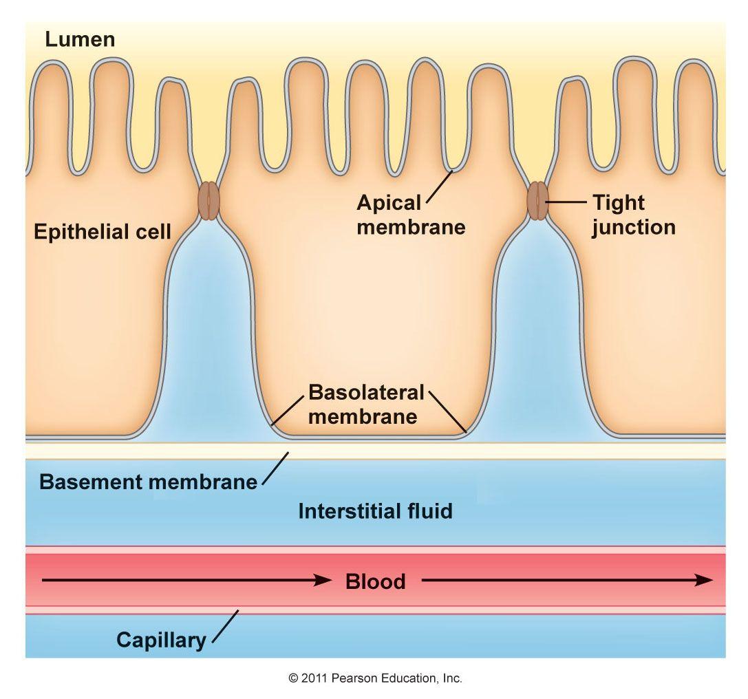 Cell Membrane Transport Cell Membrane Transport Basement Membrane Cell Membrane [ 1016 x 1087 Pixel ]