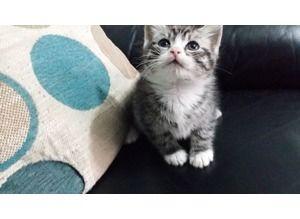 Burnley British Shorthair Kittens Cats