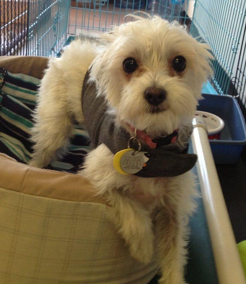 Petfinder Adoptable Maltese Dog Tucson Az Isabel Maltese Dogs Pitbull Puppies Maltese Puppy