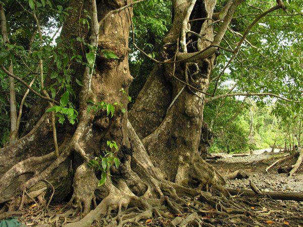 Huberodendron patinoi | Mora Oleifera