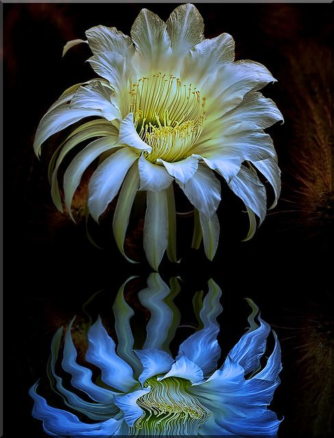 Cactus flower by Reg Ramai  Stunning!#Repin By:Pinterest++ for iPad#
