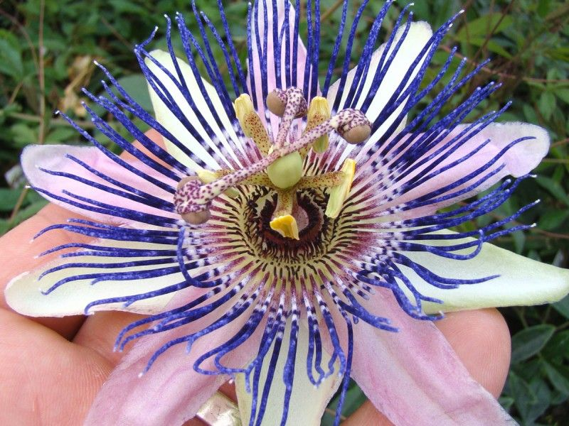 Passiflora Allardii Passion Flowers Flowering Vines Passion Flower Year Round Colors