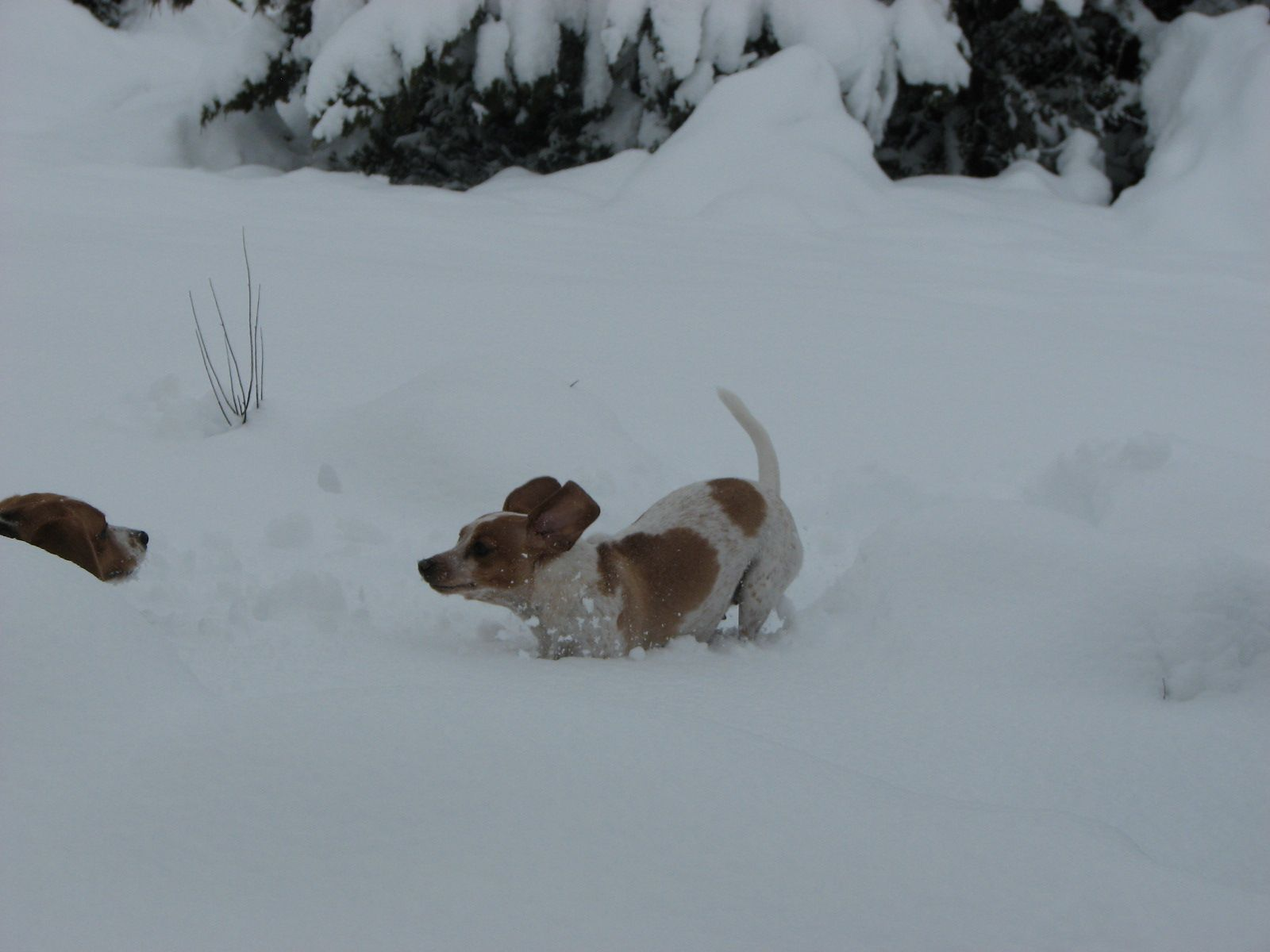Beagles Playing In The Snow Animals Beagle Snow