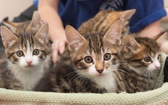Cuddling Kittens Can Kill You Warn Scientists Kitten Cat Lovers Amber Earrings