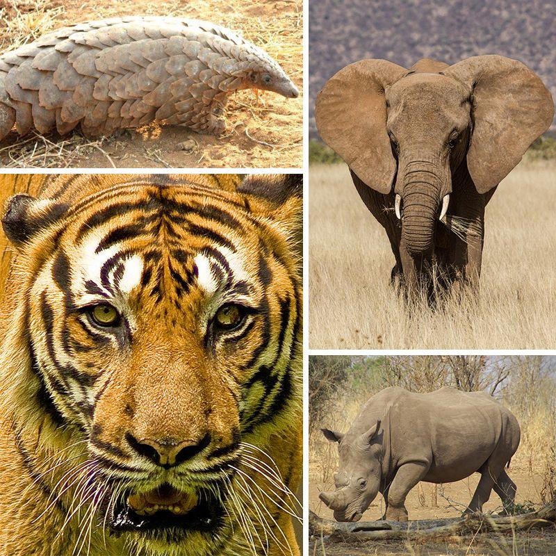 Yes On I 1401 Washington State 96 Elephants Endangered Animals In Africa Animals Endangered Animals
