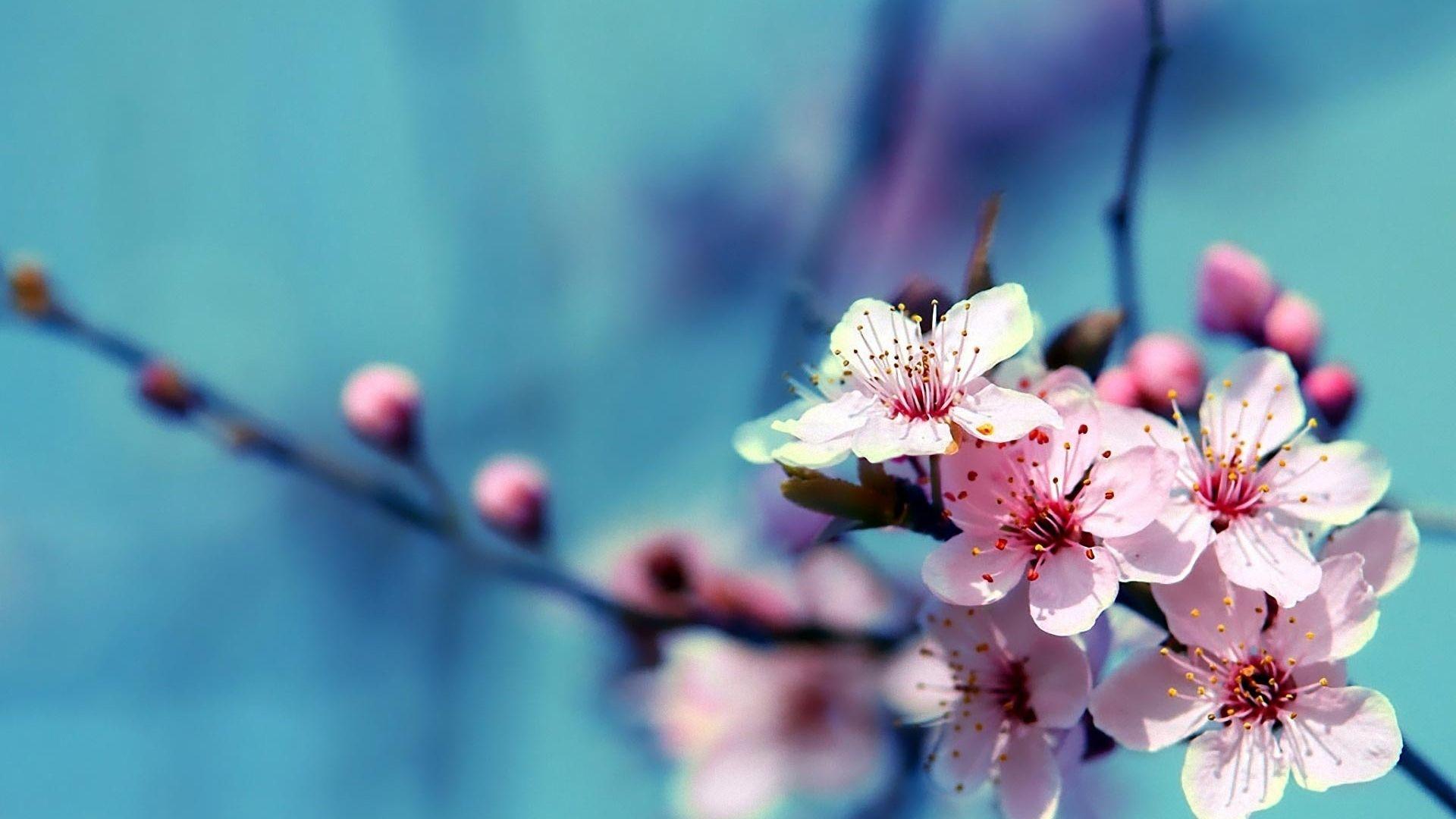 Fondos De Pantalla Hd Flores: Wallpapers De Flores De Cerezo Para Fondo De Pantalla En