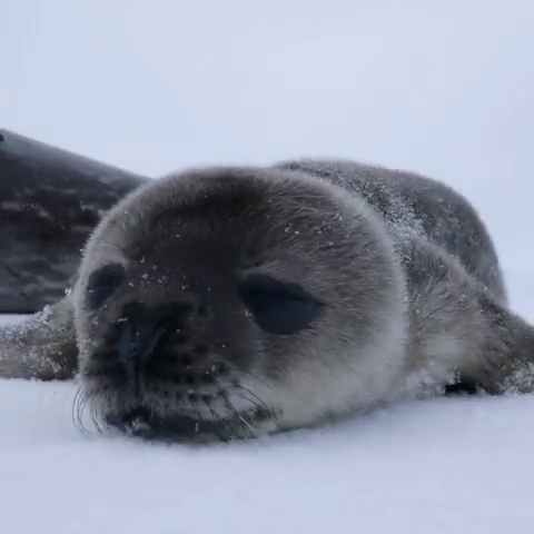 Baby seal gets first boop ever #animalesbebébonitos