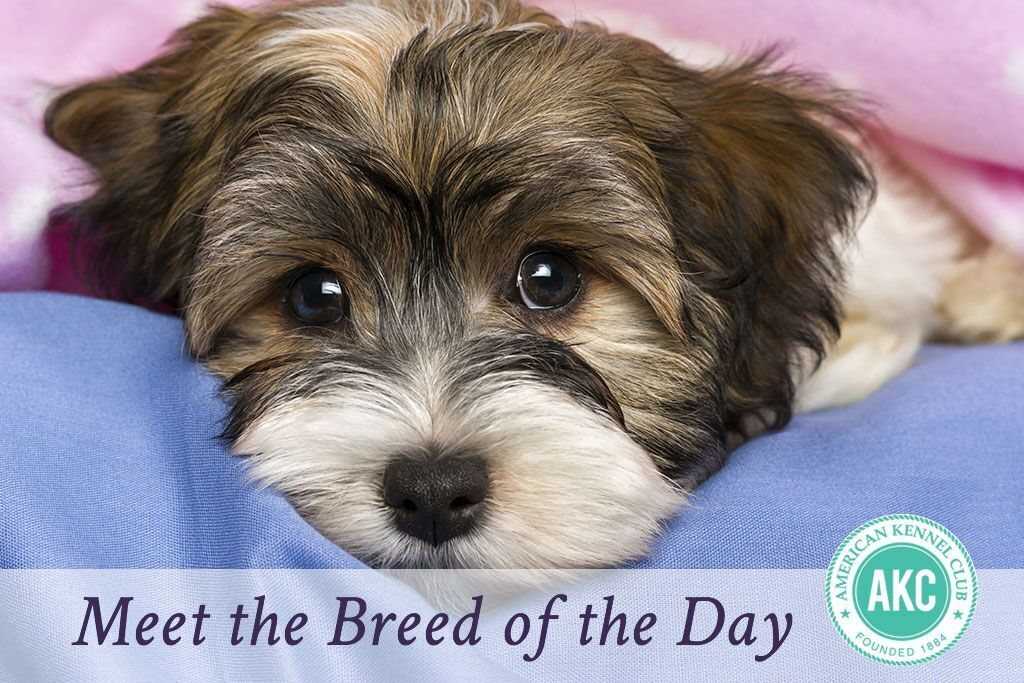Havanese Dog Breed Information Havaneser welpen, Hunde