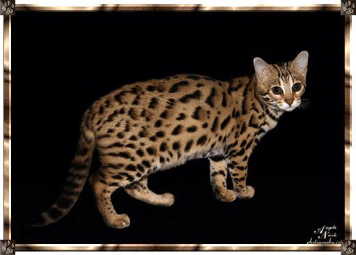 F1 Brown Bengal Queen Bengal cat for sale, Cat breeder