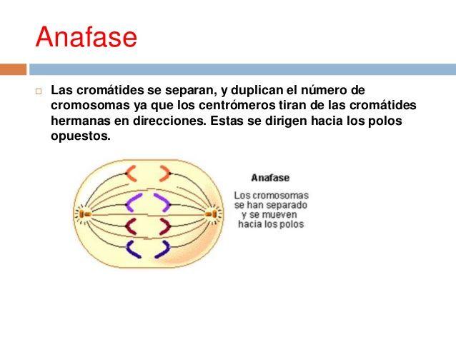 Tercera fase de la mitosis (división celular) | CICLO CELULAR ...