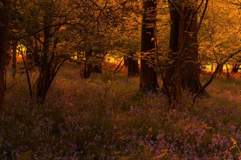 Last Light in the Bluebell Woods, Wray, Lancashire Over