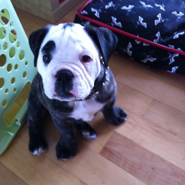 Bianca Our Olde English Bulldog Olde English Bulldog Puppies Bulldog Cute Creatures