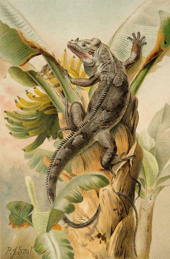 1894 Antique print of an IGUANA
