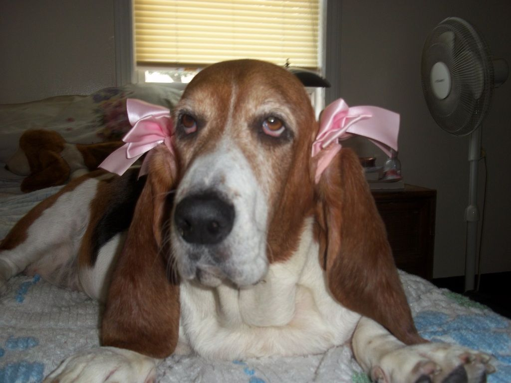 Ive been wanting to put bows on my bassets ears but she