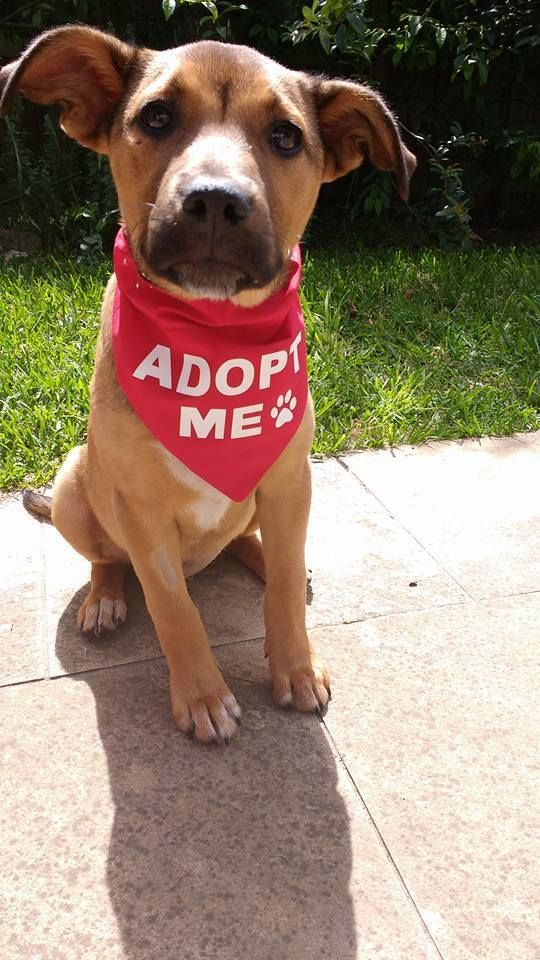 Adopt Me Bandana Over The Collar Great To Get Foster Dogs Noticed Www Mycraftydog Com Store Foster Dog Mom Foster Dog Animal Rescue Ideas