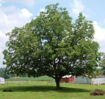 Plant Several Pecan Trees For Natural Shade Especially