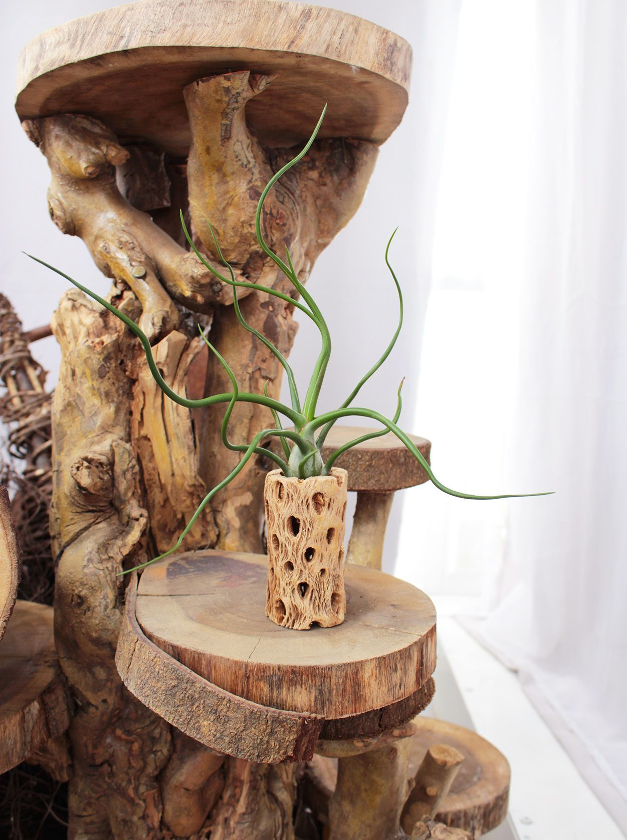 Tillandsia Bulbosa Belize Tillandsia, Air plant holder