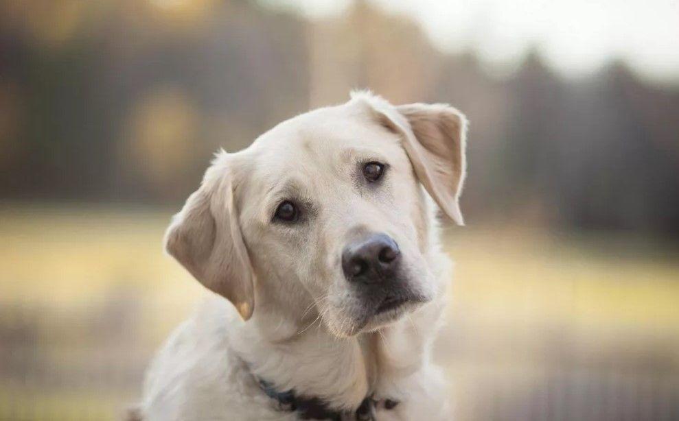 40 Cool Male Dog Names Dog Names Labrador Retriever Dogs