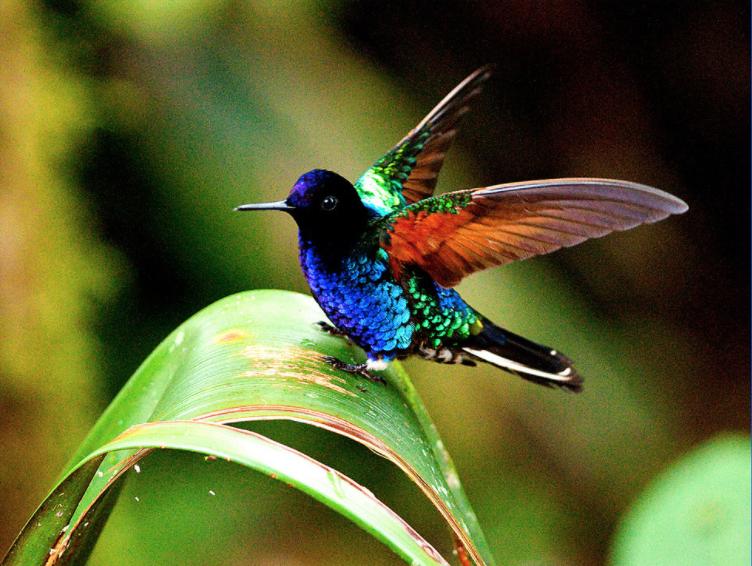 Colibri Sietecolores Alado Fotos De Colibri Animales De La