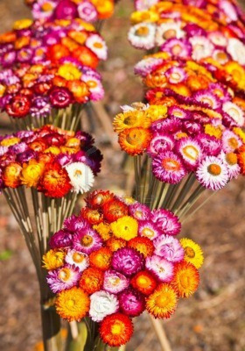 Bouquet Of Dry Straw Flower Or Everlasting Helichrysum Bracteatum