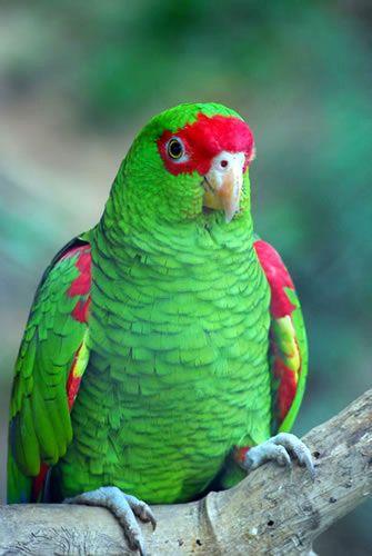 El Charao Amazona Pretrei Habita El Sur De Brasil Rio Grande Do