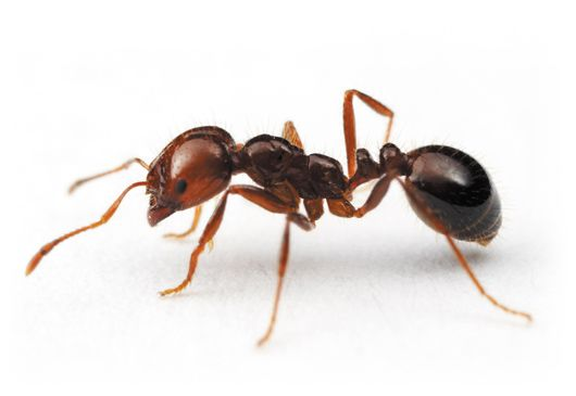 Ants In Australia Termidor Ants Insects Fire Ants