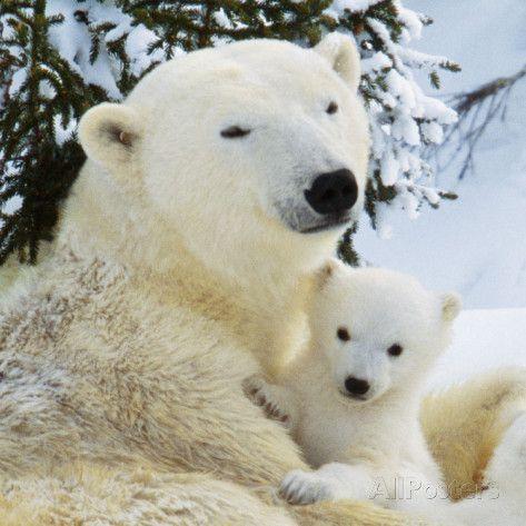 Polar Bear with Cub Valokuvavedos AllPosters.fi-sivustossa