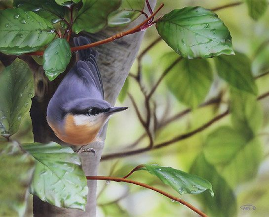 Nuthatch Bird Painting by bird Artist Carl Thompson