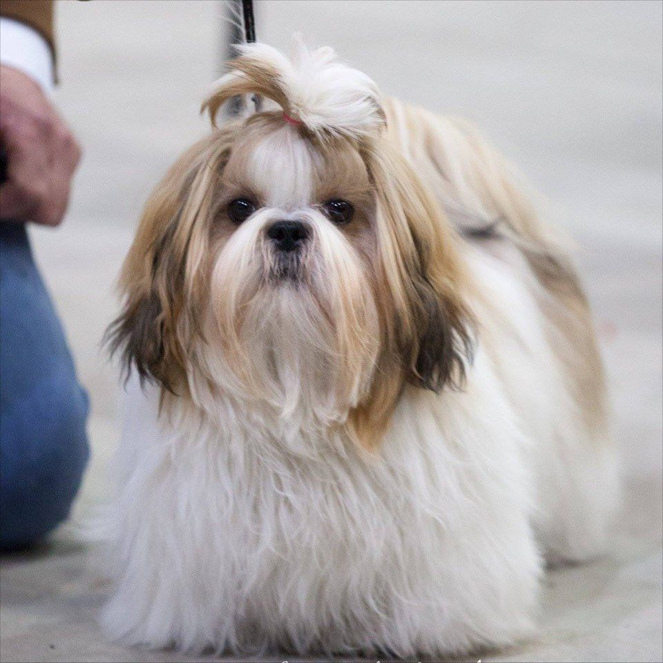 Shih tzu haircut styles shihtzu  shih tzu  pinterest  doggy stuff shih tzus and fur babies