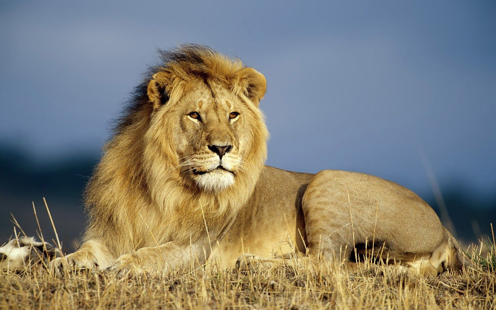 10 different types of lions with fact and pictures | pinterest
