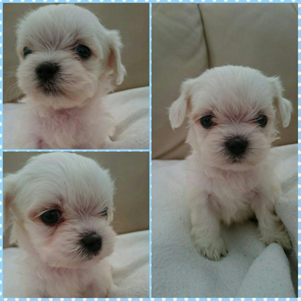 William 2 months old maltese puppy pinterest maltese maltese geenschuldenfo Image collections