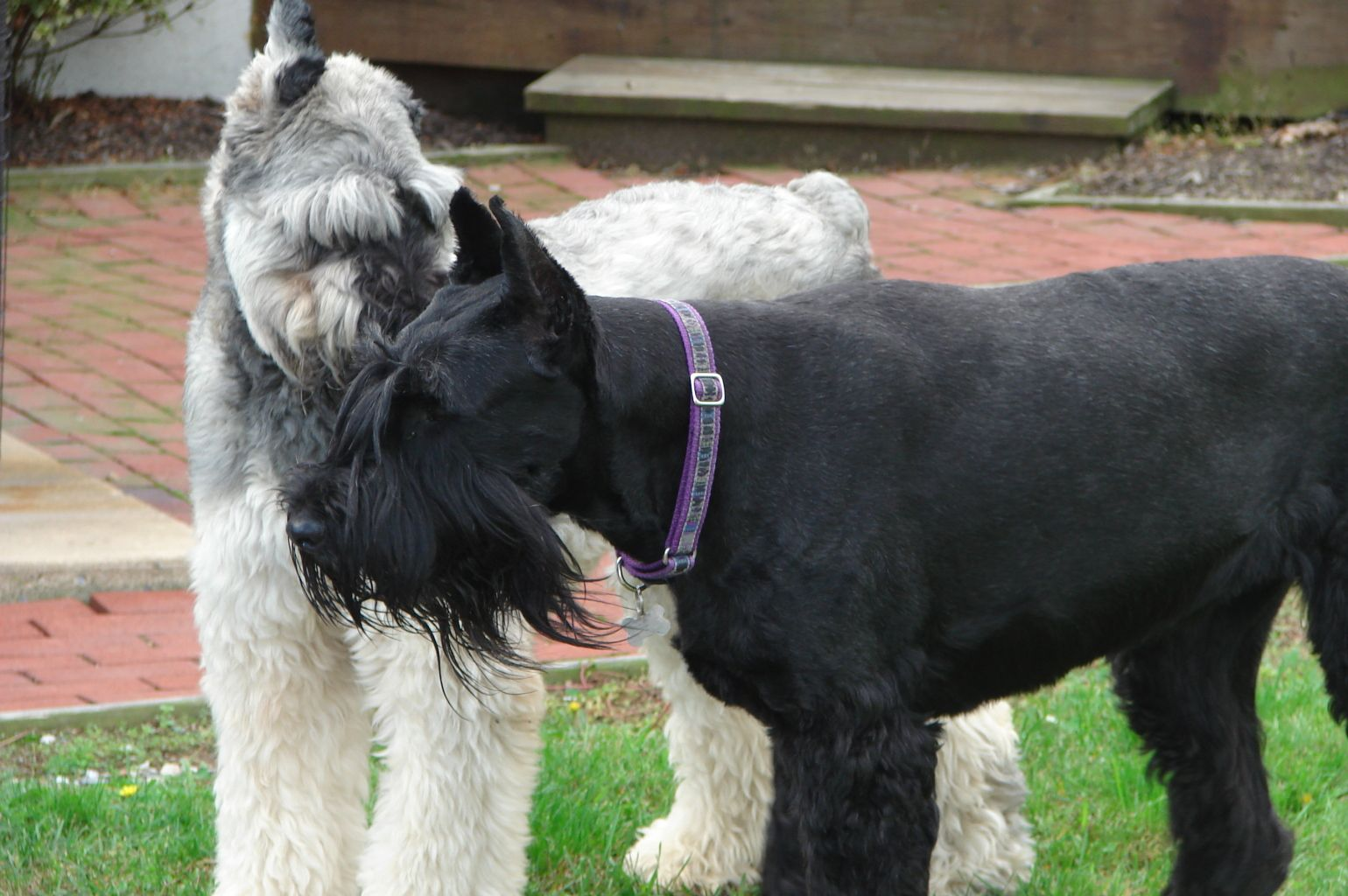 Giant Schnauzer Pictures Giant Schnauzer Wallpapers Pictures