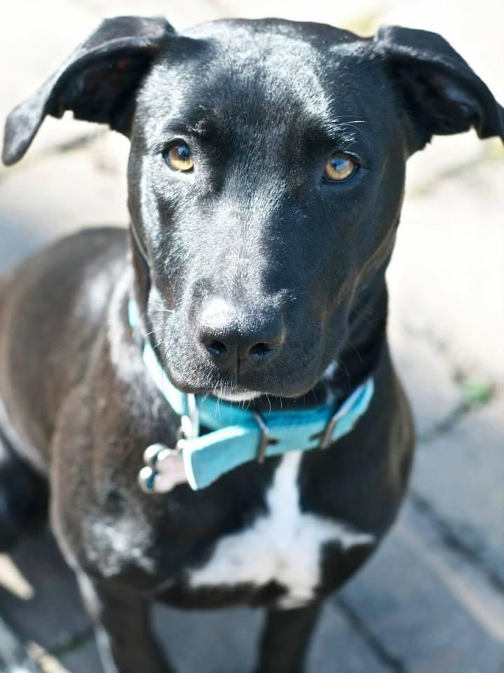Labrador Retriever Mix • Young • Female • Medium Greater Charlotte SPCA Charlotte, NC