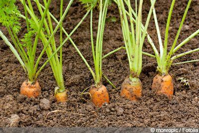 Karotten, Möhren anbauen - Aussaat und Pflege - Gartendialog.de