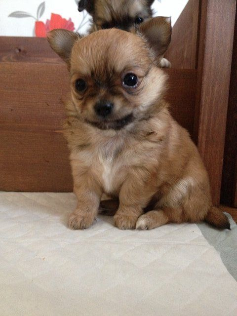 Chihuahua Puppies Long Hair 1 Male Or 1 Posot Class Chihuahua Puppies Cute Chihuahua Long Haired Chihuahua Puppies