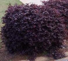 Burgundy Loropetalum ( chinese fringe )