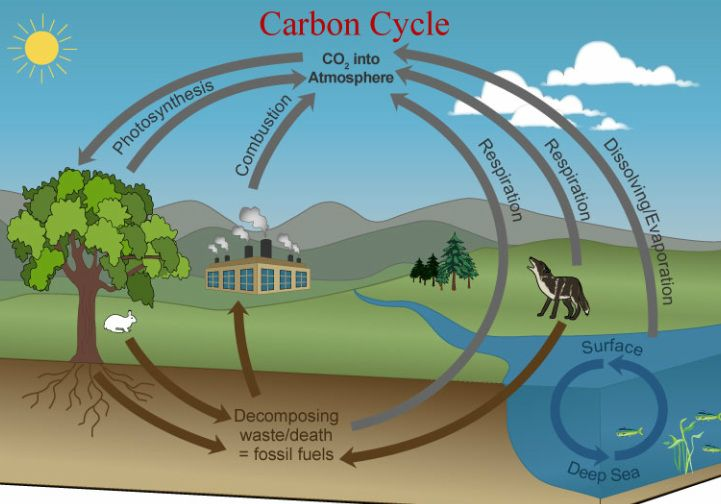 Carbon Cycle Essays (Examples)