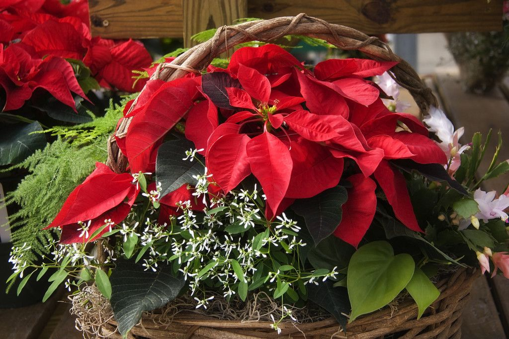 Caring For Your Christmas Cactus And Poinsettia Strawberry