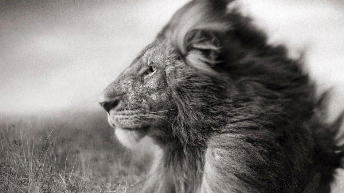 Lion Noir Blanc Black White Lion Voyage Onirique En 2020 Lion Noir Fond D Ecran Noir Et Blanc Lion Noir Et Blanc