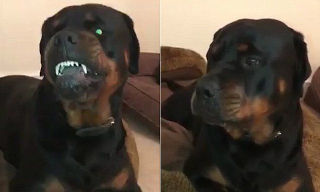 Moment Mother Silences Her Rottweilers Snarling Standoff Daily