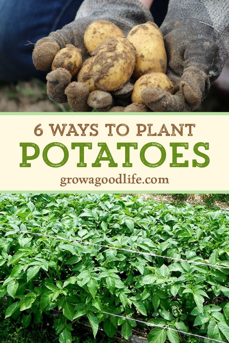 6 Ways to Grow Potatoes is part of Planting potatoes, Potato gardening, Growing potatoes, Food garden, Veggie garden, Gardening for beginners - Whether you growing potatoes for fresh eating or planting a large crop for winter food storage, here are six ways to grow potatoes in your garden